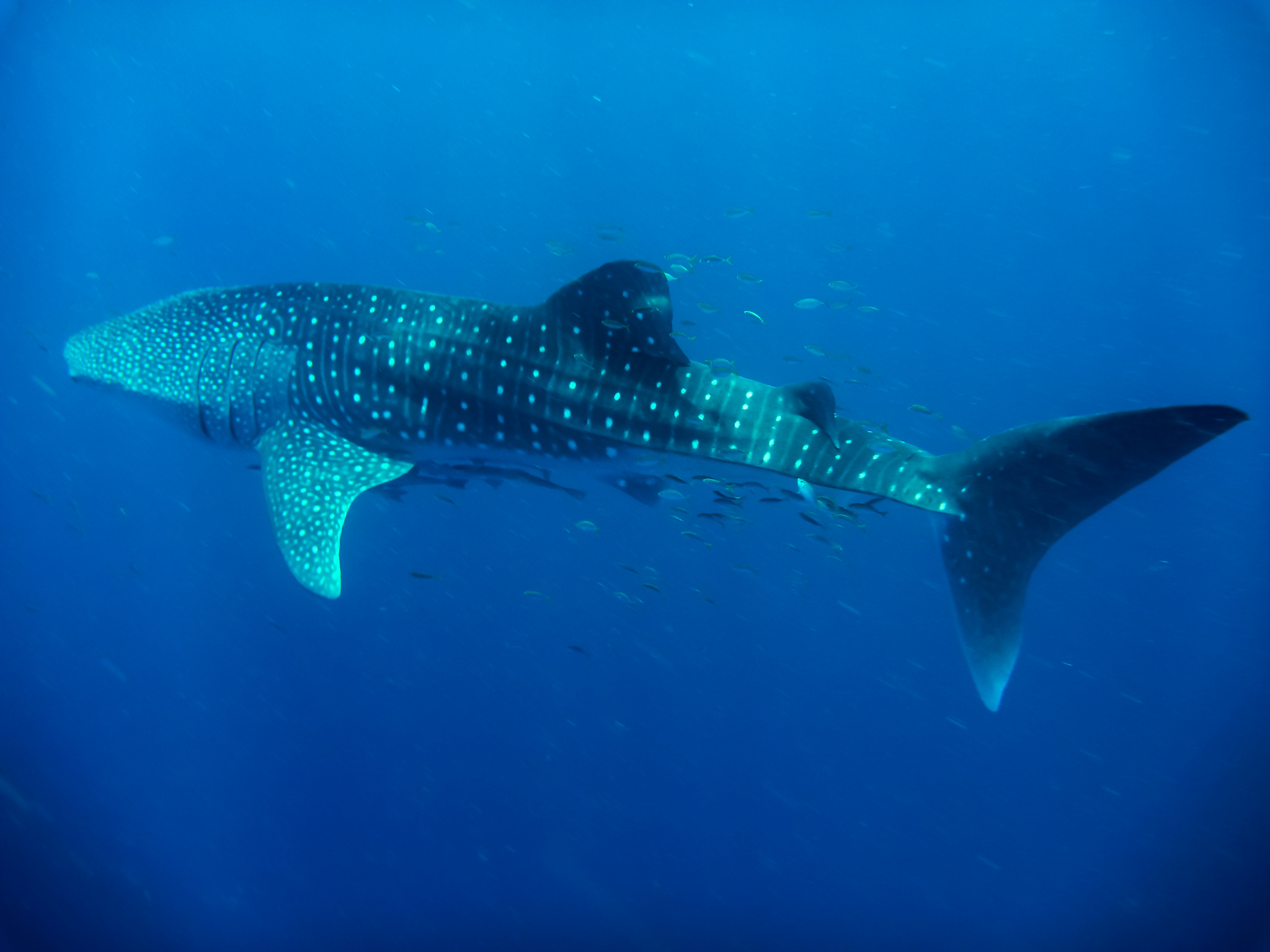 Whale Shark Ningaloo reef